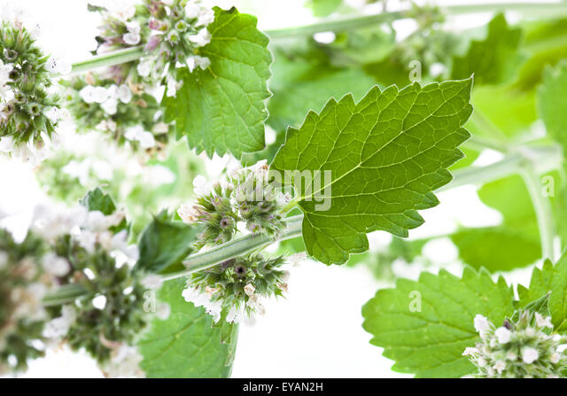 lemonbalm thesis There is inadequate published data referring to bioactivity of lemon balm tea and its kombucha the aim of this study, therefore, was to investigate antimicrobial.
