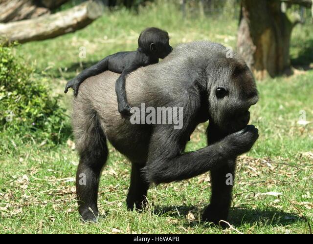 africa monkey gorilla anthropoid africa monkey apes gorilla altweltaffe berggorilla gorilla beringei beringei altweltaffen - Stock-Bilder