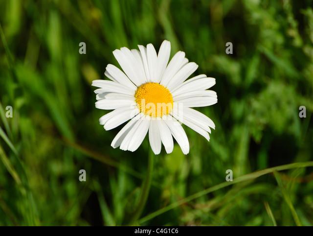WILD DAISY - Stock-Bilder