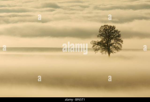 English Oak (Quercus robur) in fog, Switzerland, Europe - Stock-Bilder