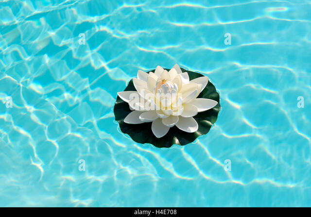 Water lily floating on sparkling sunlit fresh turquoise blue water - Stock Image