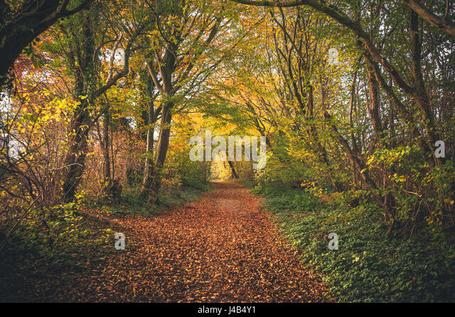 Fairytale forest in the fall with colorful trees in autumn colors covering a forest trail with autumn leaves - Stock Image