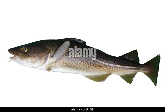 Burbot Stock Photos & Burbot Stock Images - Alamy