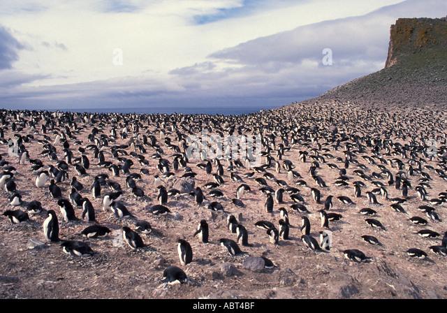 ANTARCTICA Adelie Penguin colony King George Island - Stock Image