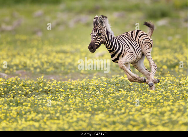 Zebra (Equus burchelli) foal running through Devil's Thorn flowers (Tribulus terrestris). Etosha National Park, - Stock Image