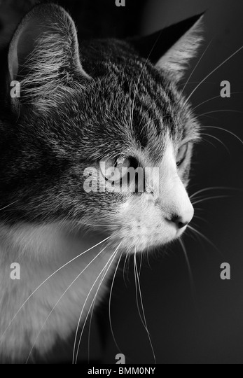 Intensely focused pet cat. - Stock Image
