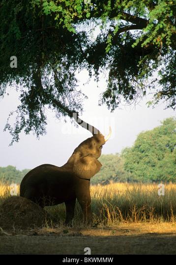 Elephant (Loxodonta africana), feeding on Acacia, Zimbabwe. - Stock Image
