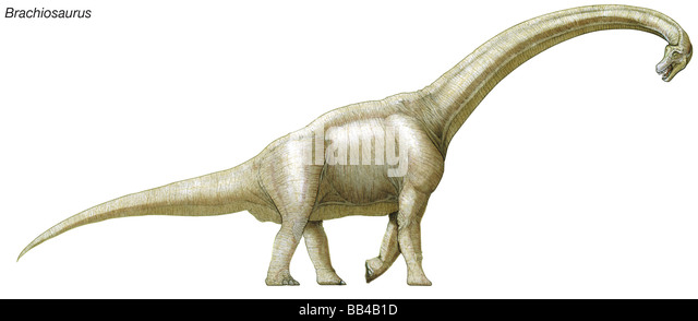 Brachiosaurus, late Jurassic to early Cretaceous dinosaur, one of the largest, heaviest and tallest dinosaurs. - Stock Image