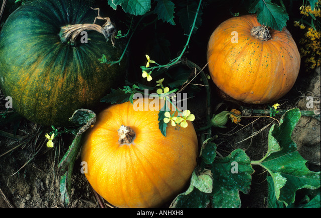 USA New York State Pumpkins in a Field Growing on the Vine - Stock Image