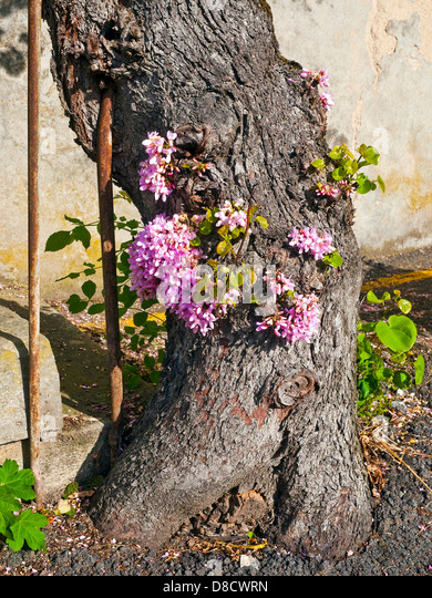 Fruit tree blossoming on lower trunk - France. - Stock Image