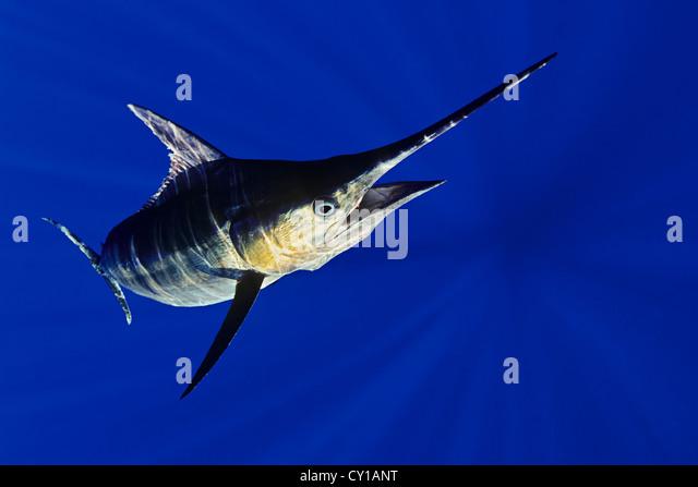 Blue Marlin, Makaira nigricans, Big Island, Hawaii, USA - Stock-Bilder
