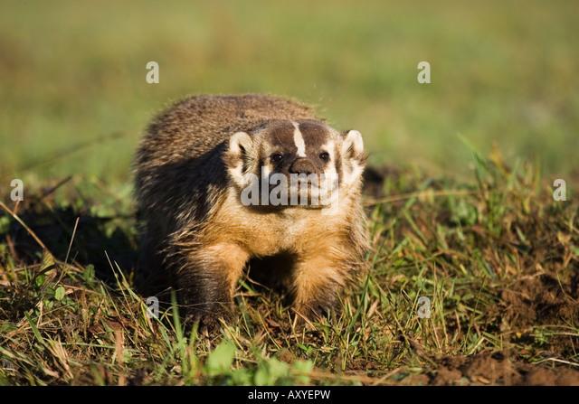 Badger (Taxidea taxus), in captivity, Minnesota Wildlife Connection, Sandstone, Minnesota, USA, North America - Stock-Bilder