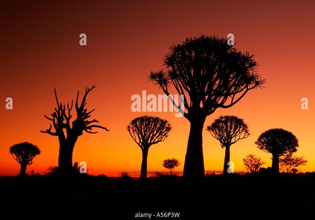 Keetmanshoop Namibia Afrika quiver tree aloe dichotom at sunrise quiver tree forest near Keetmanshoop Namibia Africa - Stock-Bilder