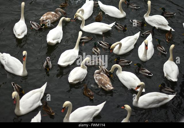 High Angle View Of Birds Swimming In Lake - Stock Image