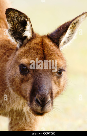 Close up portrait of wild kangaroo in Australia. - Stock Image