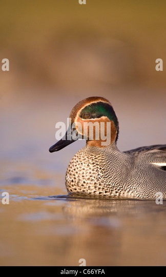 TEAL Anas crecca Profile of an adult male showing its spectacular plumage. Norfolk, UK. Photographer.Andrew Parkinson - Stock-Bilder