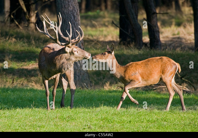 The Netherlands, Otterloo, National Park called De Hoge Veluwe. Red Deer (Cervus elaphus). - Stock-Bilder