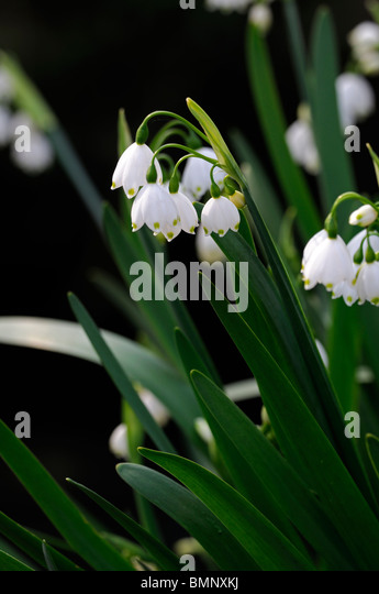 Green white bell flowers white bell shaped flowers va home and garden leucojum aestivum stock photos amp leucojum aestivum stock mightylinksfo