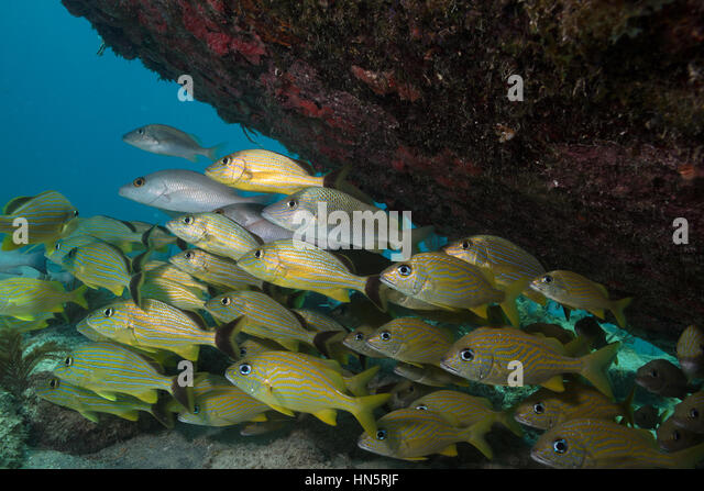 Schooling grunts hover under the protection of a shipwreck. - Stock-Bilder