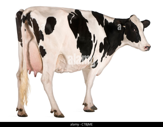 Holstein cow, 5 years old, standing in front of white background - Stock Image