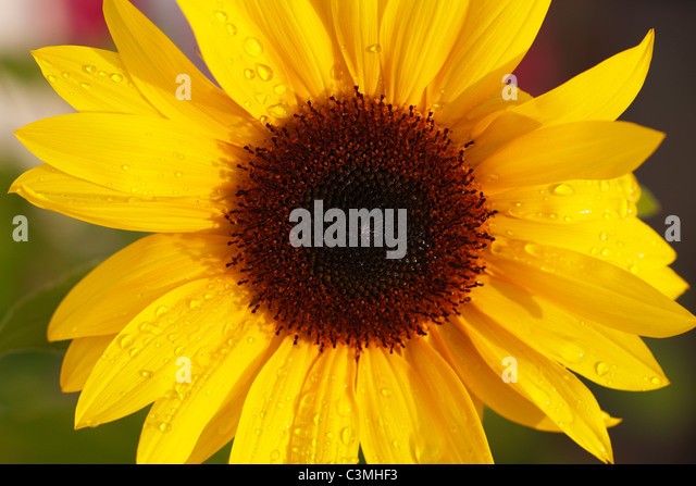 Germany, Bavaria, Sunflower, close up - Stock Image