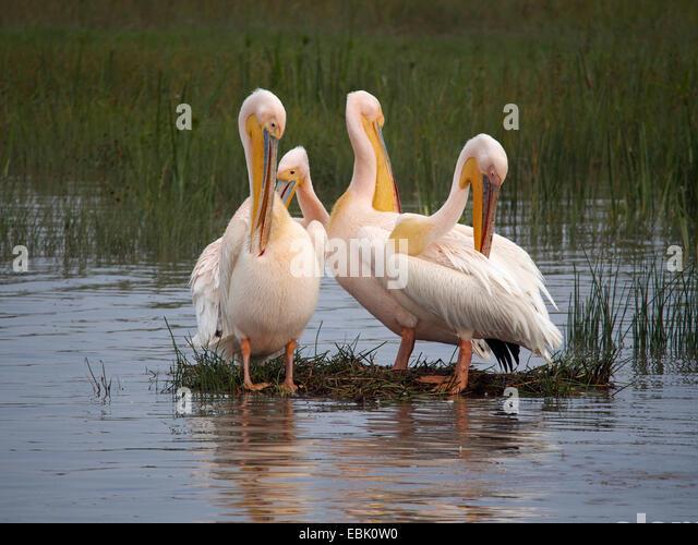 eastern white pelican (Pelecanus onocrotalus), four pelicans standing in water grooming, Kenya, Lake Nakuru National - Stock Image