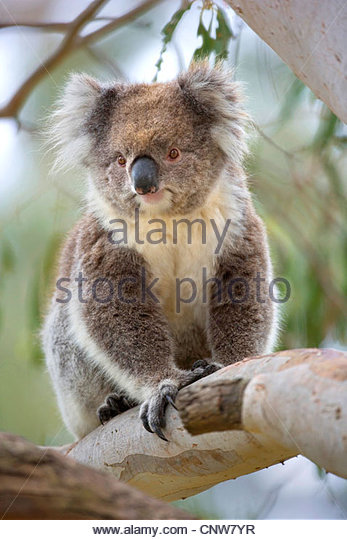 koala, koala bear (Phascolarctos cinereus), adult walks artistically on branches high up in the eucalypt trees of - Stock-Bilder