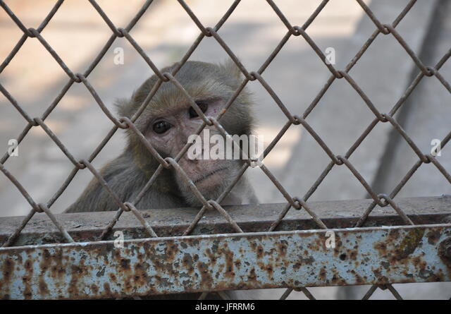 Closeup of monkey in a cage - Stock Image
