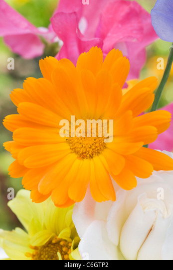 Calendula officinalis, Lathyrus odoratus, Dahlia,and Rosa.Summer flowers in a vase. - Stock Image