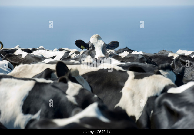 A Friesian cow looking across the backs of her herd in a field in Cornwall UK - Stock Image