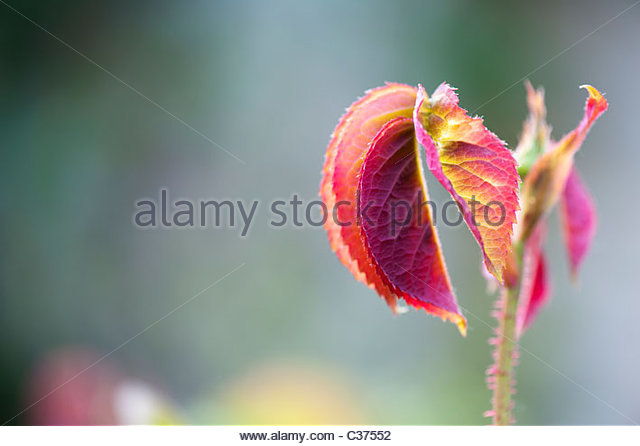 Rose plant. Rosa Gertrude Jekyll leaves - Stock Image