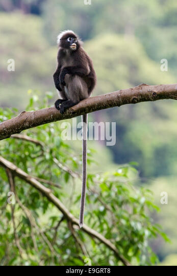 A Dusky leaf monkey (Trachypithecus obscurus) perched high in the rainforest canopy - Stock Image