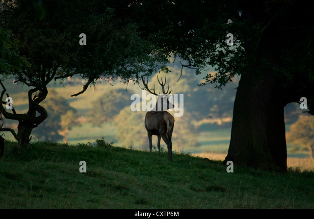 Fallow Deer Stag - Stock Image