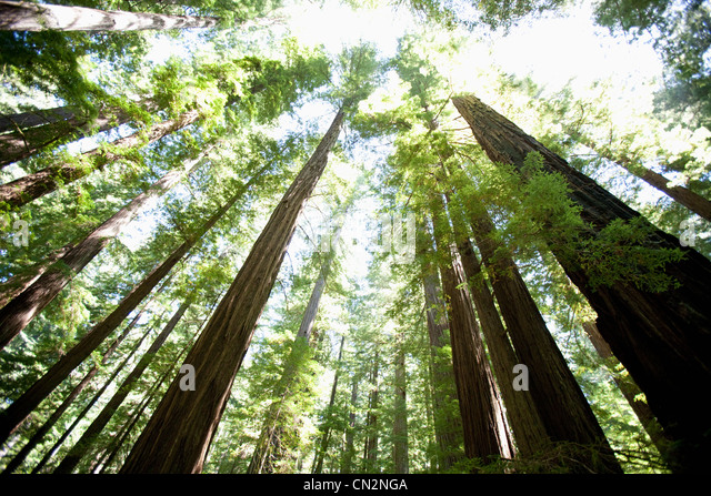 Trees in forest, low angle view - Stock Image