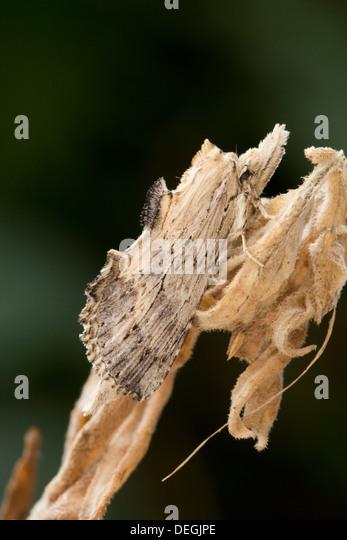 Pale Prominent Moth; Pterostoma palpina; Summer; UK - Stock Image