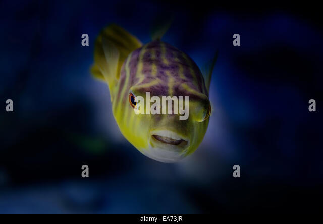 Golden Puffer Fish - Stock Image