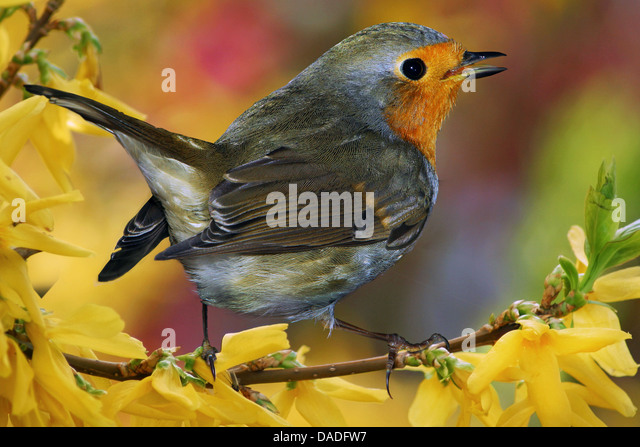 European robin (Erithacus rubecula), sitting on a branch of Forsythia, Germany, Bavaria - Stock-Bilder