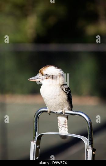Australian native kookaburra bird. - Stock-Bilder