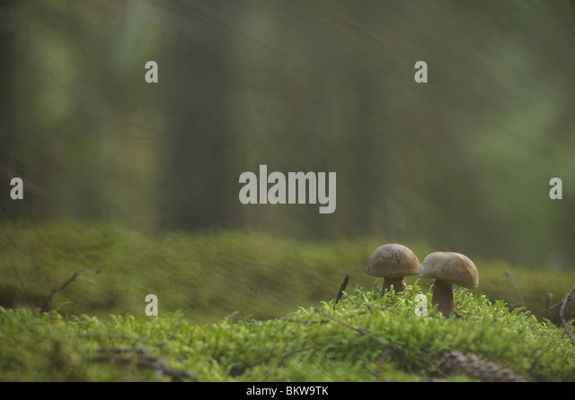 Mushrooms in the edge of the forest - Stock Image