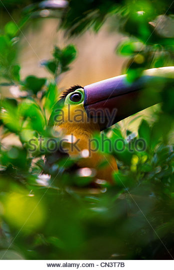 Chestnut-mandibled toucan, Colombia - Stock Image