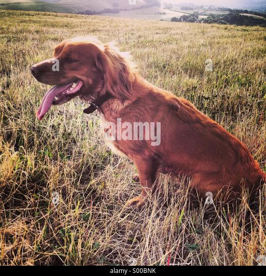 Hunting dog in Dorset. Summer 2013. - Stock Image