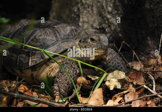 Gopher tortoise, Gopherus polyphemus, Florida, captive - Stock Image