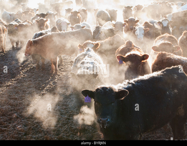 Livestock - Crossbred and mixed breeds of beef cattle in a feedlot pen on a frosty Winter morning at sunrise / Alberta, - Stock Image