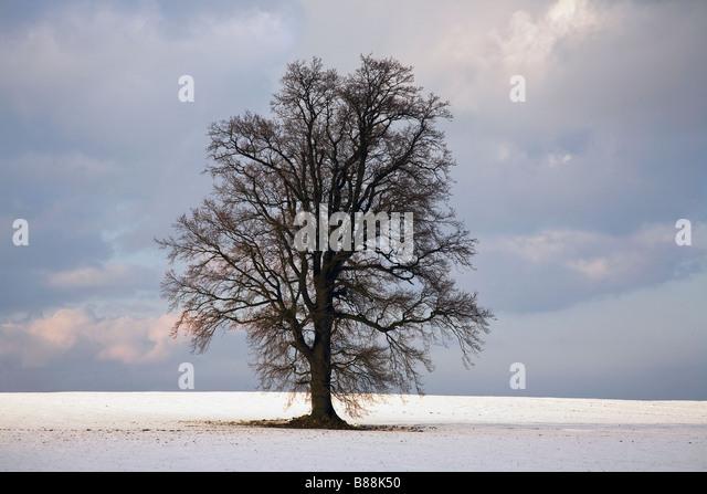 Oak tree in winter snow near Cranbrook Kent UK - Stock Image