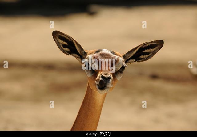 The Gerenuk (Litocranius walleri) - Stock Image