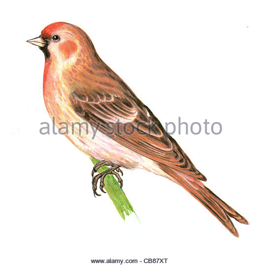 Redpoll bird species Series Songbird - Stock-Bilder