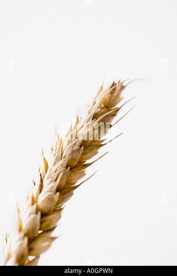 Wheat plant - Stock Image