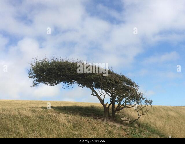 Windswept tree on the South Downs - Stock-Bilder