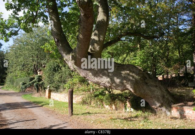 Old Oak Tree at Windlesham Arboretum, Surrey - Stock Image