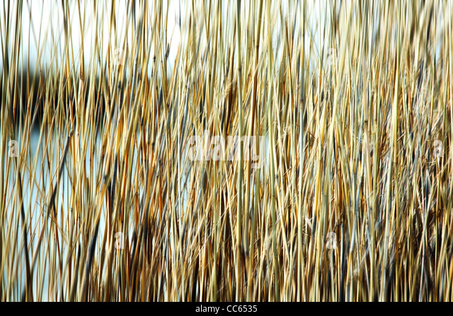 Blured reed background. - Stock-Bilder